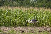 Stork preparing for take off — Stock Photo