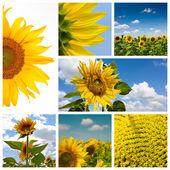 Sunflower montage — Stock Photo