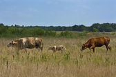 Family of cows on the prarie — Stock Photo