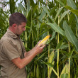 Farmer inspecting maize harvest — Stock Photo