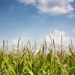 Maize spears against a summer sky — Stock Photo