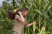 Farmer harvesting maize — Stock Photo