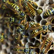 Paper wasps tending nest — Stock Photo