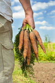 Carrot Harvest — Stock Photo