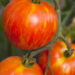 Heirloom tomato — Stock Photo