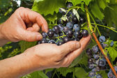 Vintner inspecting grapes in close up — Stock Photo