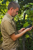 Vintner inspecting grape harvest — Stock Photo