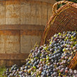 grape harvest&quot — Stock Photo