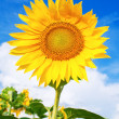 Yellow sunflower against blue sky — Stock Photo