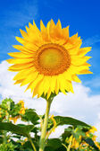 Yellow sunflower against blue sky — Stock Photo