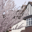 Cherry tree in London — Stock Photo #5672383