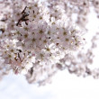 Cherry tree in London — Stock Photo #5672394