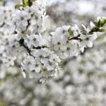 Cherry tree in London — Stock Photo