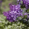 Kew Gardens ( botanic park in London). Lilac — Stockfoto