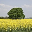 Stock Photo: Yellow medow and tree