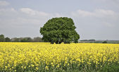 Yellow medow and tree — Stock Photo
