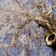 Stock Photo: Old big birch in white hoar