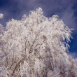 Stock Photo: Birch branches with hoar and sky