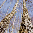 Two march birches on sky background — Stok fotoğraf