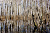 Spring water in birches grove — Stockfoto