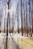 Early spring in the birches grove — Stock Photo