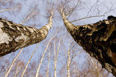 Two march birches on sky background — Stock Photo