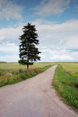Country road and old fir — ストック写真