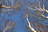 March birches on blue sky background — Stock Photo
