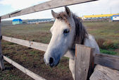White foal in the wooden fence — Stock Photo