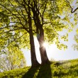 Trees in the summer morning light — Stock Photo