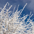 Stock Photo: Winter morning branches in hoar