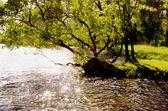 Evening light on the riverside tree — Stock Photo