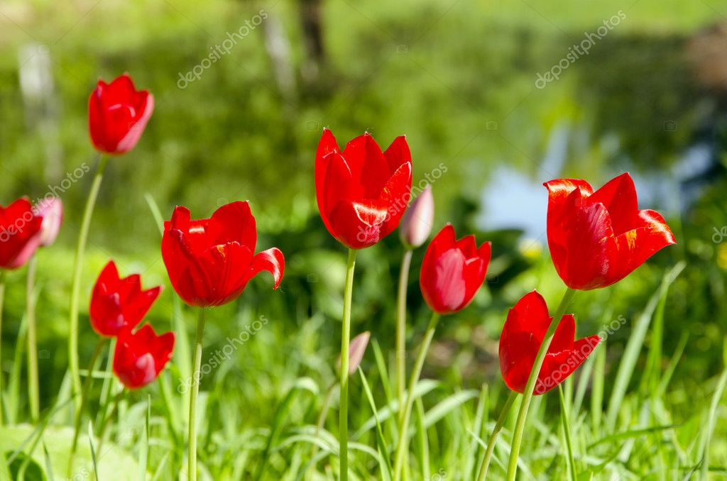 Red spring  morning tulips on green background  Stock Photo #5682872