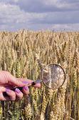 Agronomo, alla ricerca di orecchie di mais — Foto Stock