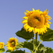 Stock Photo: Three summer sunflowers