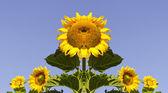 Kompozice symetrická slunečnice — Stock fotografie