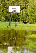Basketball place, backboard and cow — Stock Photo