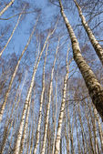 Spring forests birches on sky bacground — Stock fotografie