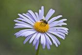 Une abeille et un moucheron sur marguerite lila — Photo