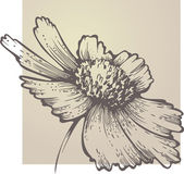 Flowering Coreopsis — Stock Vector