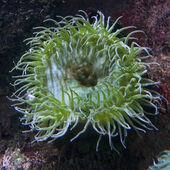 Green sea anemone — Stock Photo