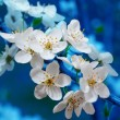 Branch of cherry flowers on blue background - Stock Photo