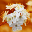 Branch of cherry flowers on orange background - Stok fotoğraf