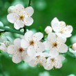 Branch of cherry flowers on green background - Stock Photo