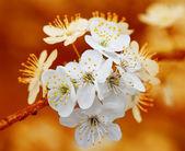 Branch of cherry flowers on orange background — Stock Photo