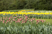 Tulips and narcisses — Stock Photo