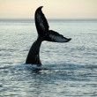 Humpback Whale — Stock Photo #5415516