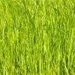 Royalty-Free Stock Photo: Young green grass as a background