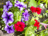 Petunia flower beds of red and purple — Stock Photo