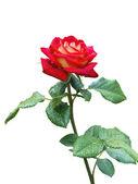Kvetoucí růže — Stock fotografie